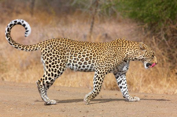 Leopard Walking On The Road