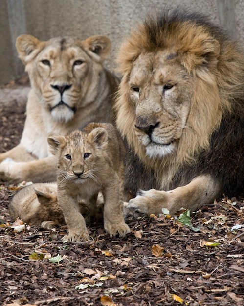 Lion Life cycle