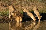 Lion And Lionesses Drinking Water