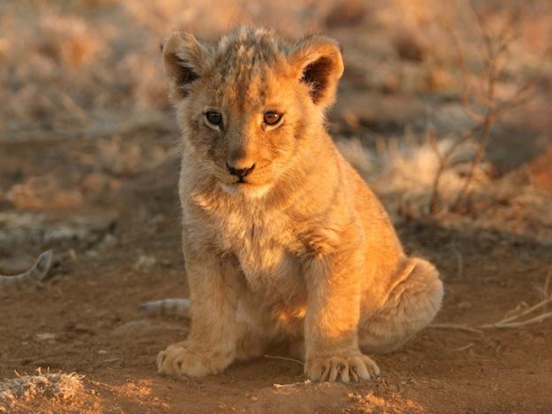 Hábitos reproductivos del león