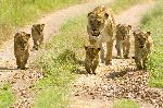 Lioness Walking With Her Five Cubs