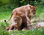 Lioness and Male Lion