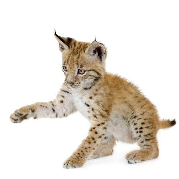 Lynx breeding