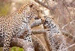 Mother Leopard And Cub Playing On a Tree