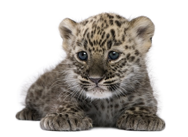 Leopard conception and birth