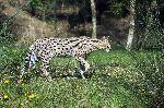 Serval_caminando_en_la_vegetación_150_imagen
