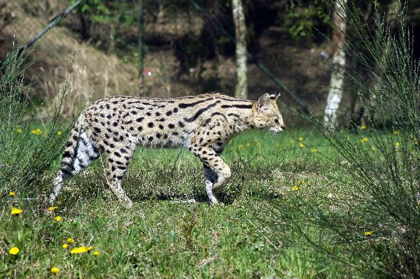 Serval Walking On Grass