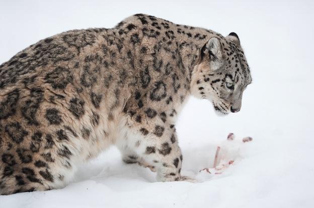 Snow leopard, an endangered species