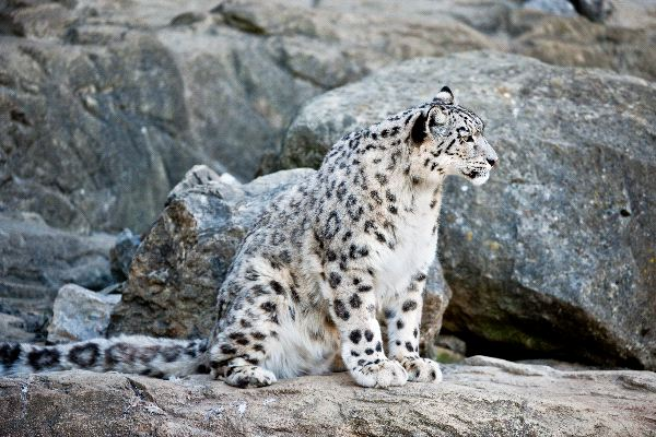 Snow Leopard Sitting In Rocks