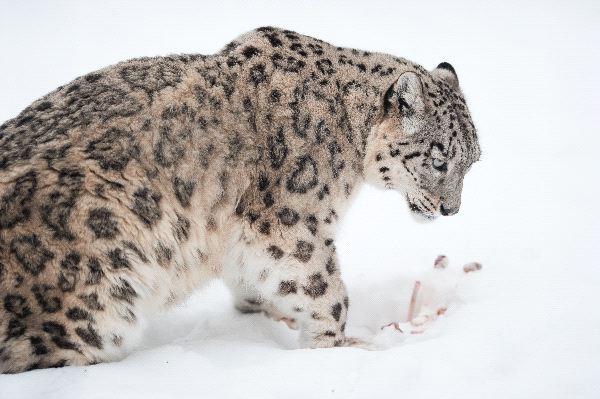 Leopardo_de_las_nieves_con_su_presa_600_foto