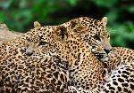 Sri Lanka Leopards - Panthera Pardus Kotiya