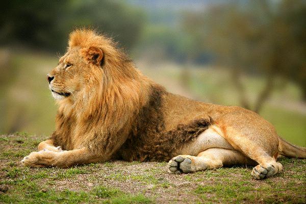 El_rey_de_la_selva_600_foto