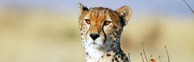 Cheetah Videos