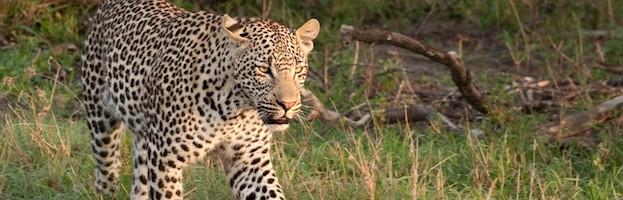 Leopard Videos