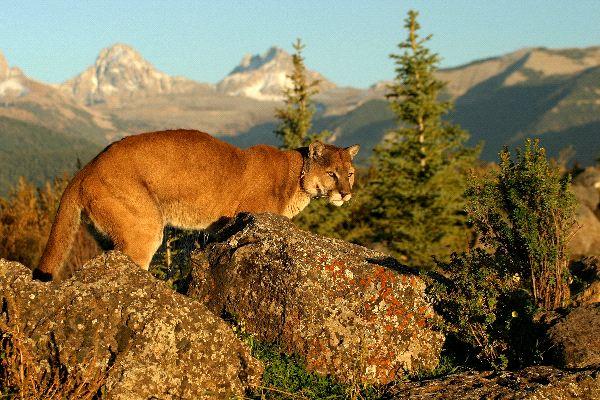 Wild Cougar in Morning Light