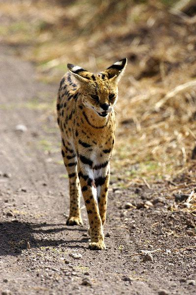 Long Body Cat Breeds
