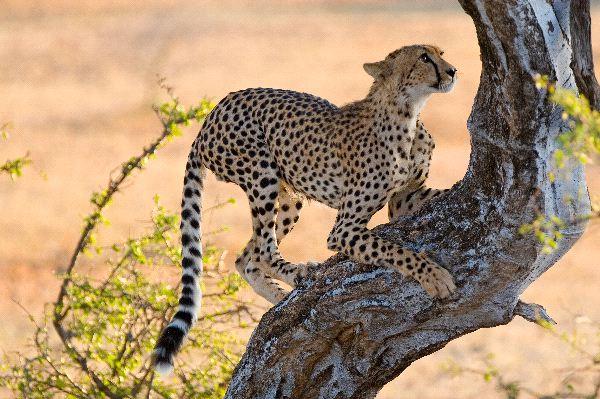 Young Cheetah Climbing A Tree