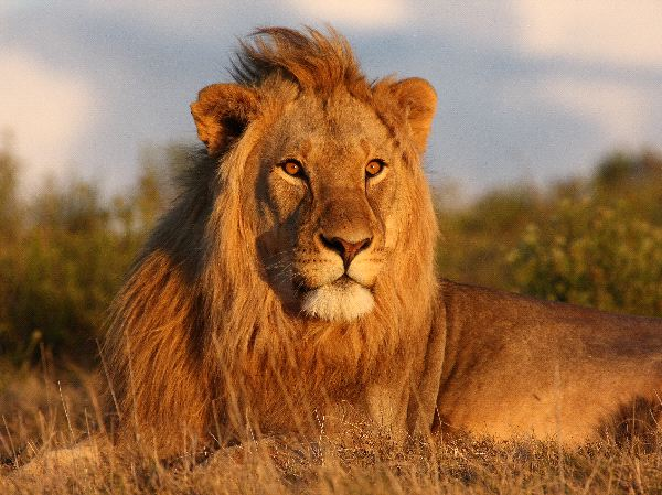 Young Lion Looking Towards The Setting Sun
