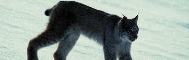 Lynx Anatomy