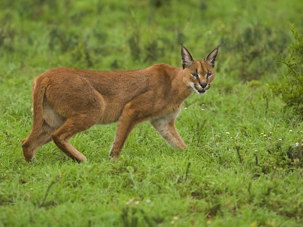 Interesting facts about Caracal