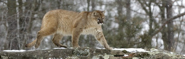 Cougar Conservation