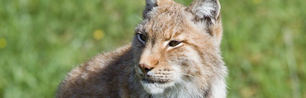 Lynx Conservation