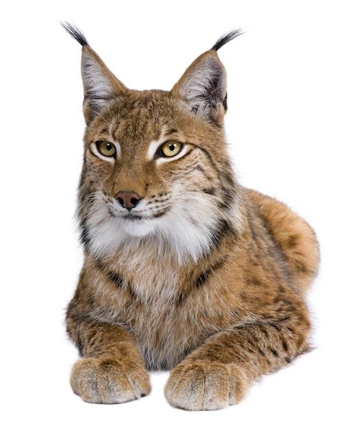 Eurasian lynx or European lynx