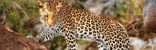 Leopard Evolution and Subspecies