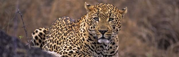 Datos Sobre el Leopardo