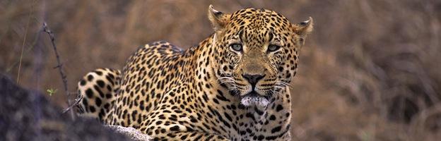 Comportamiento Del Leopardo Felinos Información Y Características