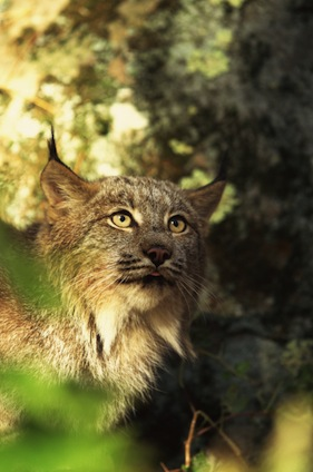 Relevant facts about lynxes