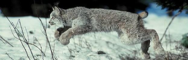 Lynx Feeding