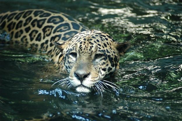 Jaguar habitat and distribution
