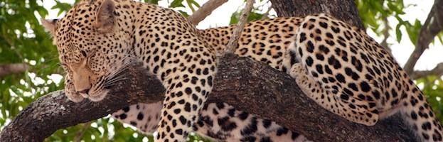 Hábitat y Distribución del Leopardo
