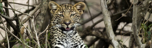 Leopardos y Humanos