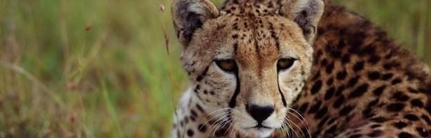 Cheetah Information