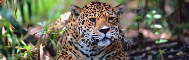 Jaguar Information