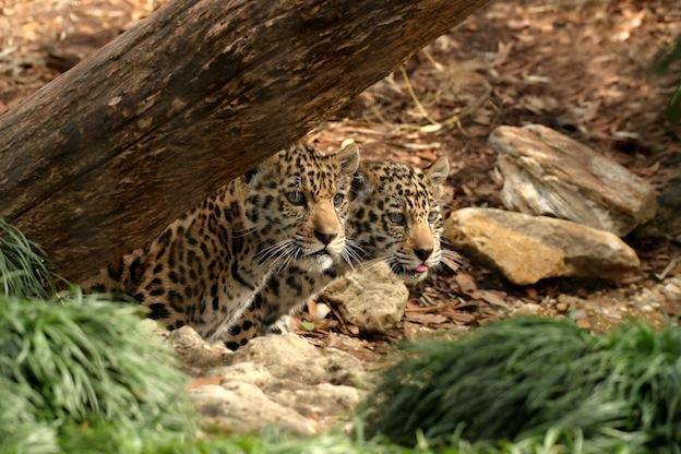 Jaguar Breeding