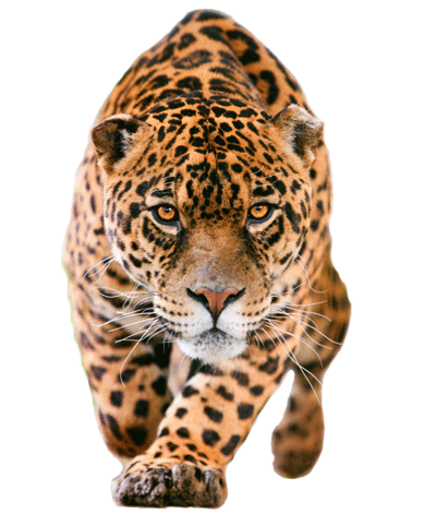 jaguar feline facts and information. Black Bedroom Furniture Sets. Home Design Ideas