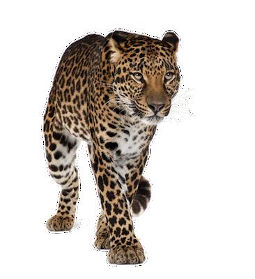 leopard_front