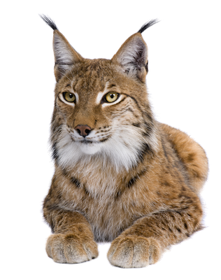 lynx_front