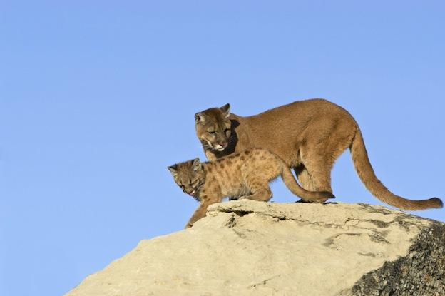 Reproducción del león de montaña