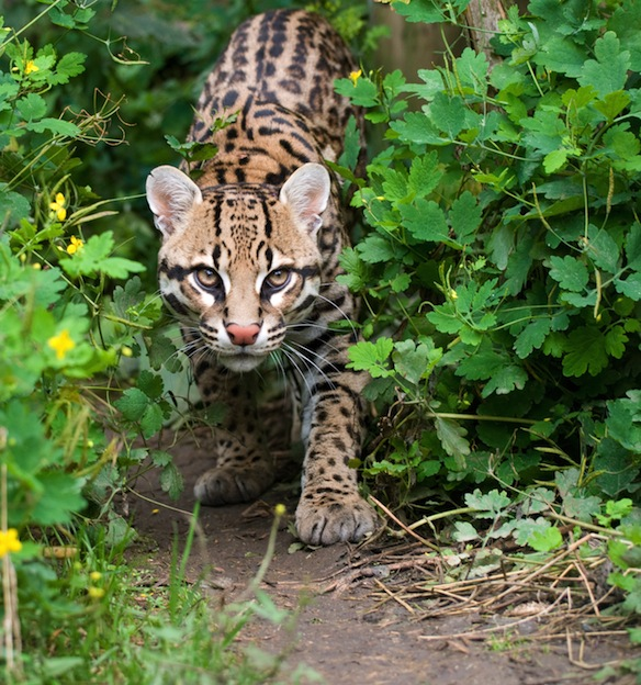 Information about Ocelot