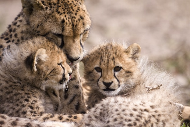 Facts about Cheetah reproduction
