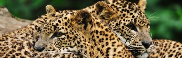 Leopard Reproduction