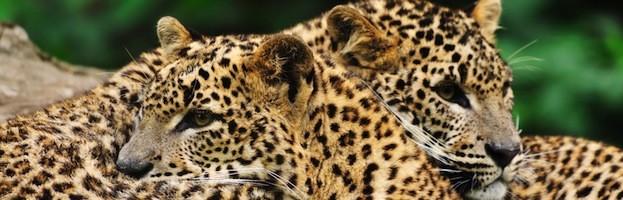 Reproducción del Leopardo