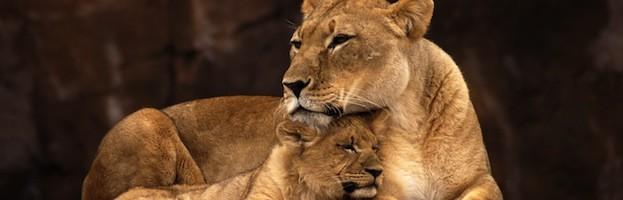 Reproducción del León