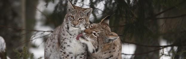 Lynx Species