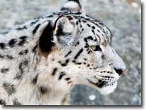 snow-leopard-visual