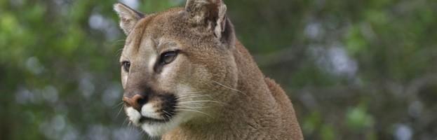 Evolución y Subespecies del Puma